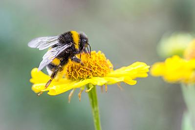 Bee vectoring