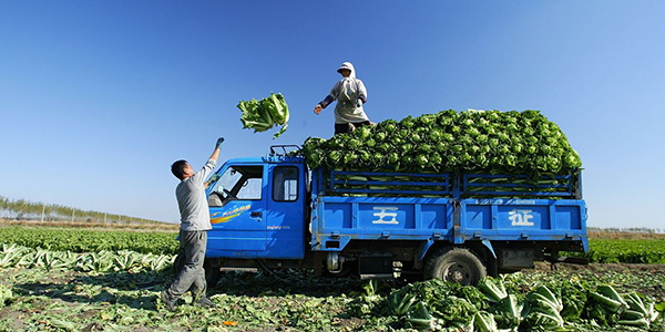 Workers load produce into a truck in the field